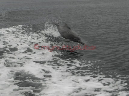 Dolphins, Musandam