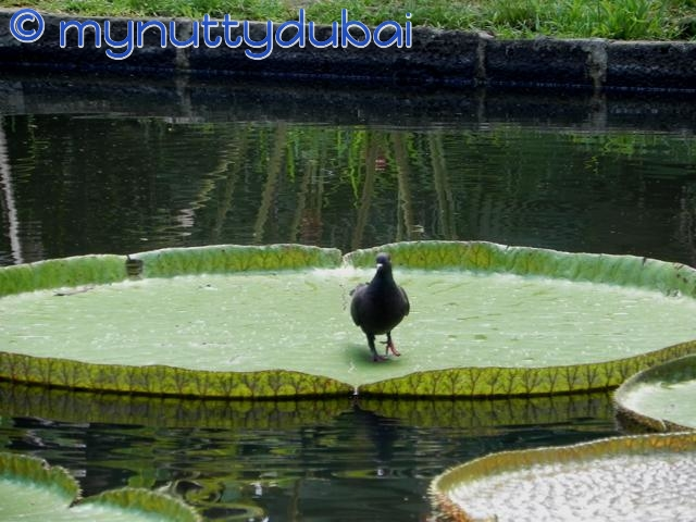 A bird, afloat on a lily, afloat in a pond
