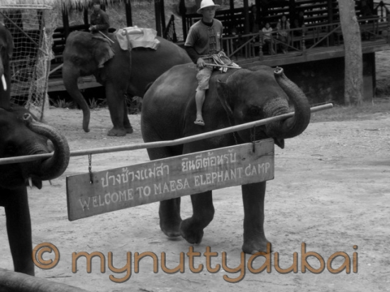 Elephants carrying a sign in Thailand