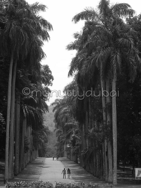 Very tall trees in Sri Lanka