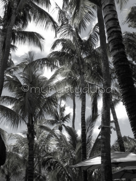 Tall trees in Mauritius