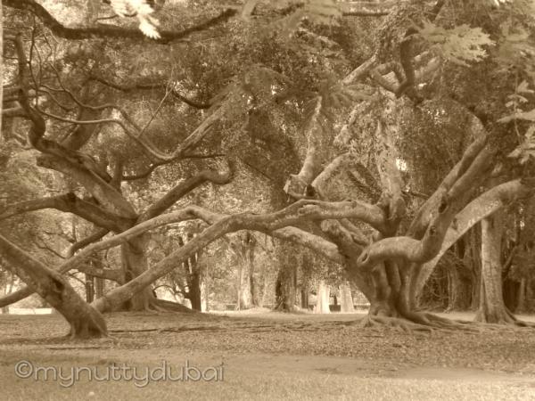 Crazy trees in Sri Lanka