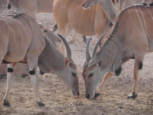 Arabian Gazelle (I think?)