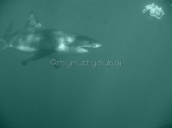 Great white shark - photo taken while cage diving with them!