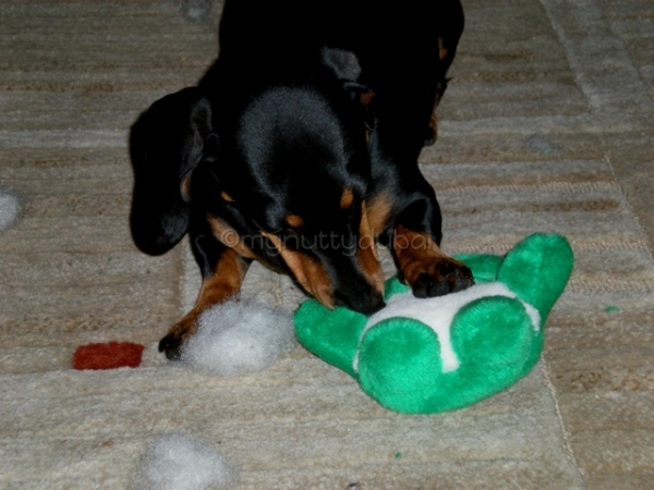 A scary dachshund destroying his Christmas present, right before our eyes!