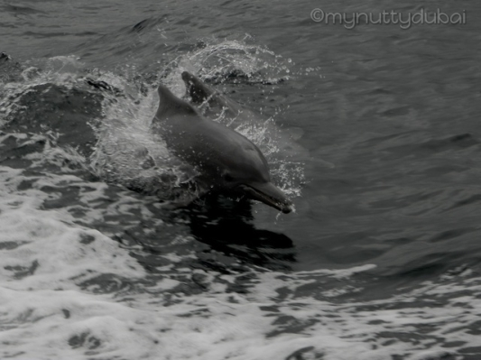 Dolphins in Musandam