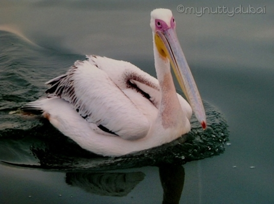 Pelican-type-bird-thing in Namibia