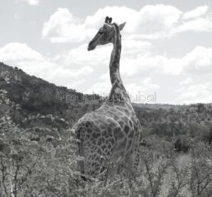 Giraffe, Pilanesburg
