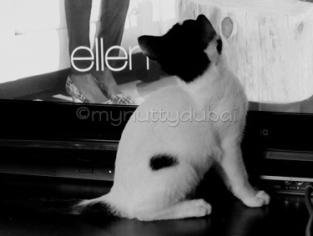 A foster kitten - Prince - watching Ellen