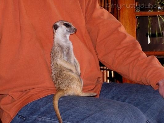 Meerkat sitting on my uncle's lap