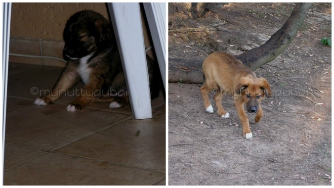 The transition of a tiny puppy to a (slightly older) puppy... and eventually into a dog