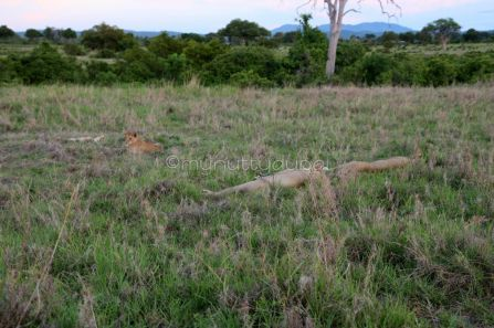 Look carefully - about 4 lionesses lazing in the grass :)