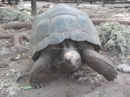 Tortoises on Prison island